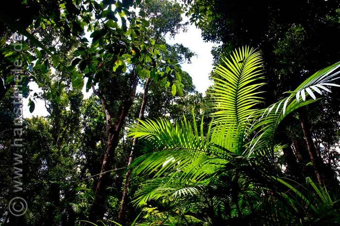 lianen anpassungen an das leben im tropischen regenwald queensland. Black Bedroom Furniture Sets. Home Design Ideas