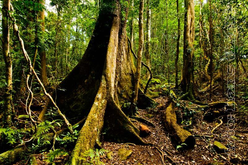 Brettwurzeln Im Tropischen Regenwald Stammblutigkeit